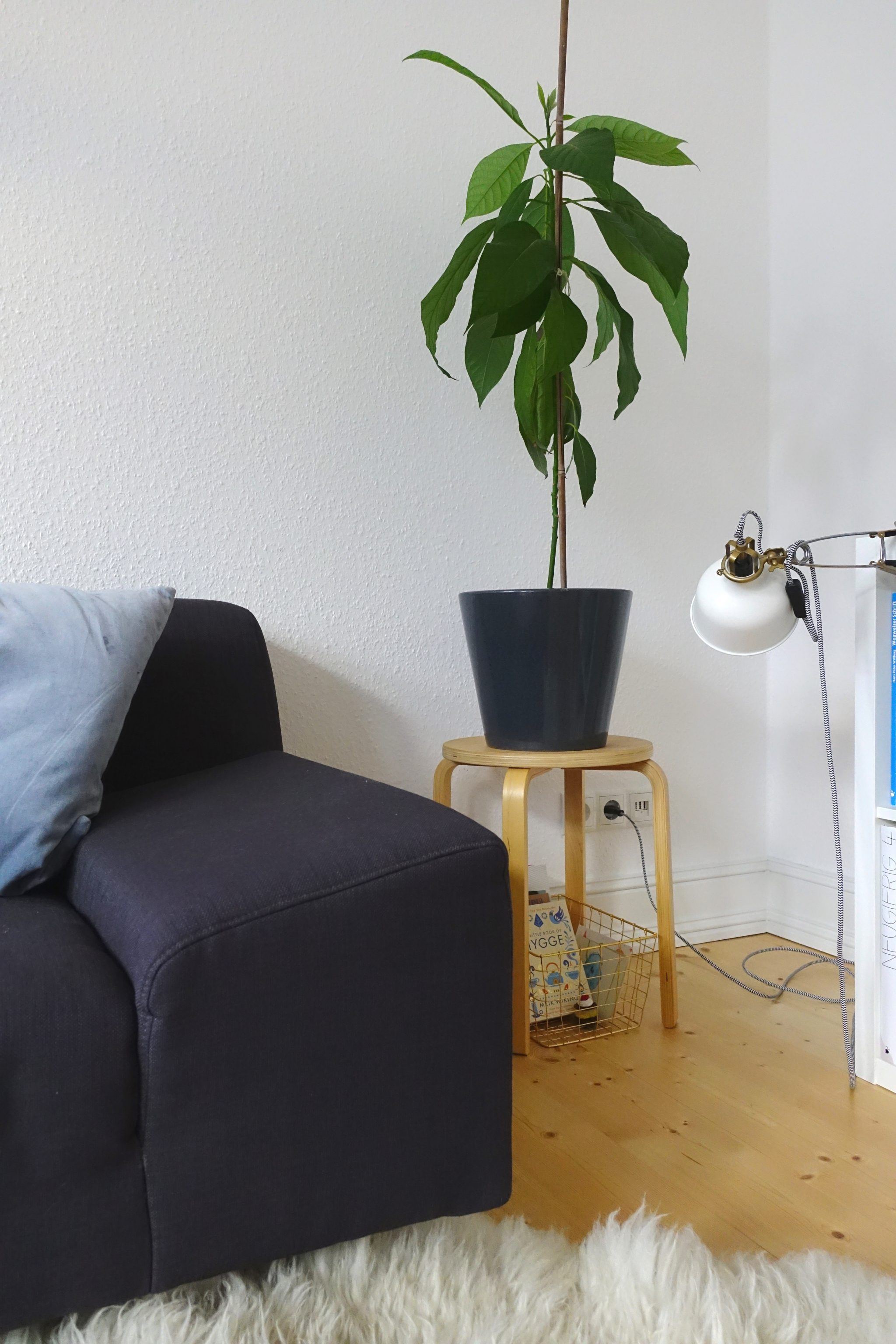 Zimmerpflanzen Avocado