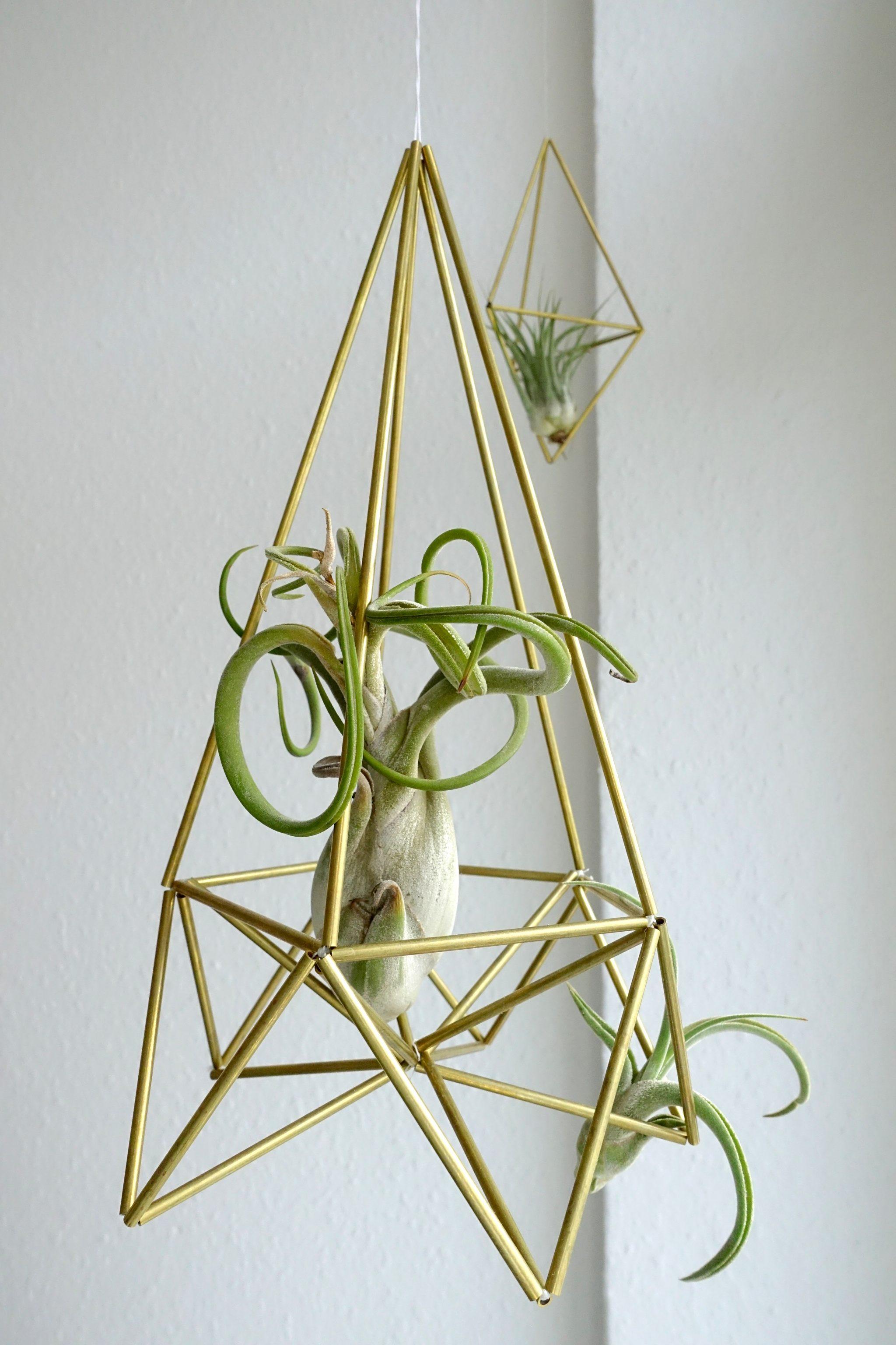 Zimmerpflanzen Tillandsia ionantha